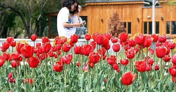 laleler havaların ısınmasıyla birlikte çiçek açtı