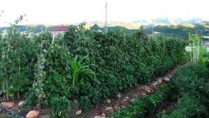 Bahçeye dönüştürülen atıl arazide ilk hasat heyecanı