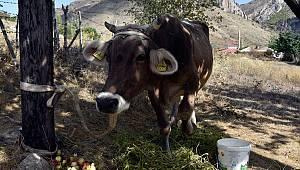 Firari inek! NERELERE KAÇMAMIŞ Kİ :)