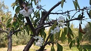 Turgutlu'da kiraz ve erik ağaçları çiçek açtı