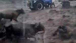 Sel nedeniyle 50 büyükbaş hayvan telef oldu