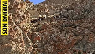 Kayalıkta sıkışan koyun sürüsü Van'da böyle kurtarıldı