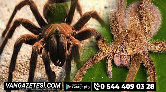 Şimdide ölümcül örümcek istilası' uyarısı yapıldı