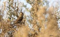 Kiraz Kuşu Bir Kez Daha Türkiyede Görüldü